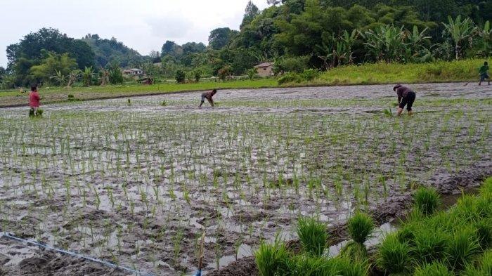 Singgung Penyaluran Pupuk di Toba, Bupati Poltak Sitorus Ultimatum Distributor