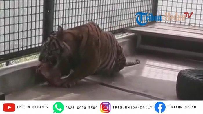 Palas, Harimau yang Ditangkap di Desa Hutabargot Berangsur Pulih, Tidak Diserahkan ke Kebun Binatang