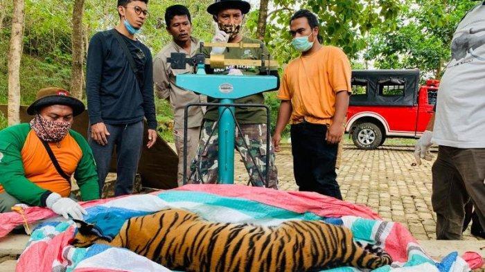 Faktor Harimau di Tapsel Masuk Permukiman, BBKSDA Sebut Perambahan Hutan hingga Kalah Berburu