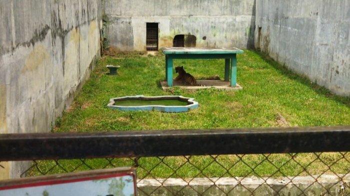 Harimau Kurus Kering Makan Rumput Kabarnya Mati, Manajer Medan Zoo: Masih Hidup Kok