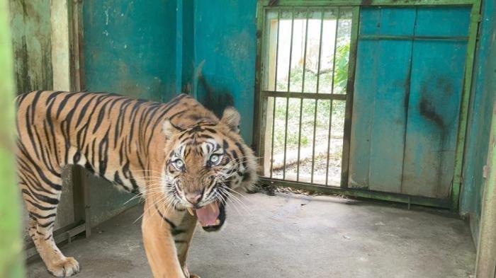 Baringin, Harimau Sumatera di Medan Zoo yang kondisinya kurus kering, Jumat (24/9/2021).(TRIBUN MEDAN/FREDY SANTOSO)