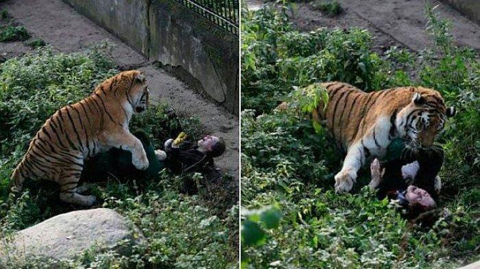 Video Detik-detik Harimau Raksasa Terkam Perawat yang Bawa Makanannya, Gini Akhirnya