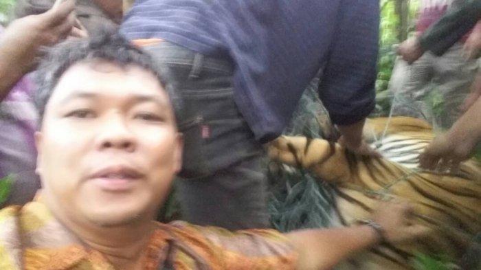 HOTNEWS! Harimau Sumatera Jantan Terperangkap Jerat Babi, Begini Kondisinya