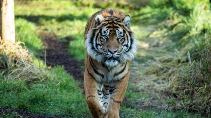 Jumpa Harimau saat Bertani, Tiga Warga Mandailing Natal Trauma