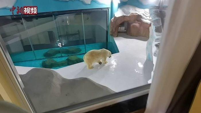 Hotel Ini Laris Manis Meskipun Dapat Banyak Kecaman GegaraPertontonkan Beruang Kutub di Dalamnya
