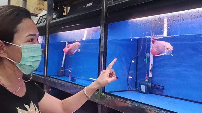 Penjualan Ikan Arwana Super Red Melonjak 50 Persen, Dipercaya Bisa Bawa Hoki