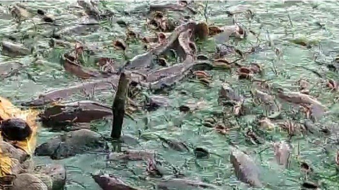 Berebut Beri Makan Lele Raksasa, Tempat Pelesiran Murah Meriah di Kolam Ikan di Cemara Asri