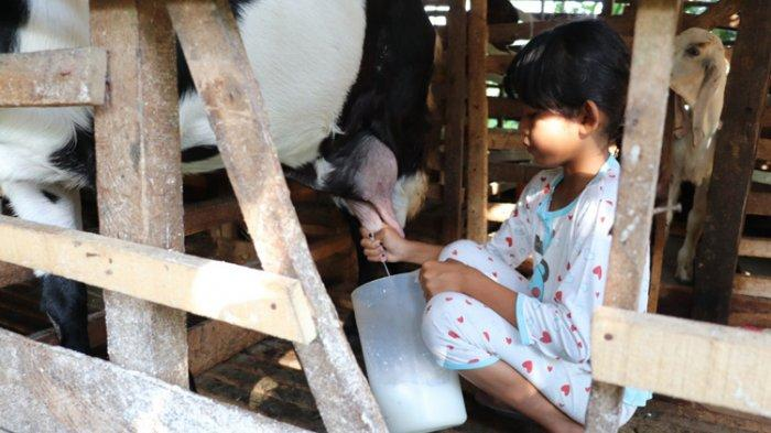 Program Kemitraan Jamkrindo Antarkan Susu Kambing Etawa Jadi UMKM Naik Kelas