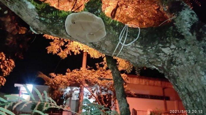 Sebuah jamur yang tumbuh di pohon mangga, milik Supandi warga Jalan Nangka, Dusun VII Desa Suka Maju, Kecamatan Binjai Barat, Kota Binjai, tidak seperti hal biasanya, Jumat (14/5/2021). (Tribun-medan.com/HO)