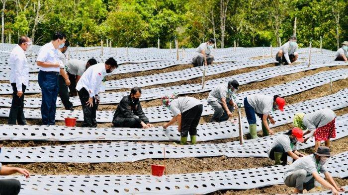 Presiden Jokowi tinjau Food Estate di Humbang Hasundutan, Sumatera Utara, Selasa (27/10/2020). Sumatera Utara telah menyiapkan lahan seluas 60 ribu hektar untuk Food Estate di 4 Kabupaten yaitu, Kabupaten Humbang Hasundutan, Tapanuli Utara, Tapanuli Selatan, dan Pakpak Bharat.