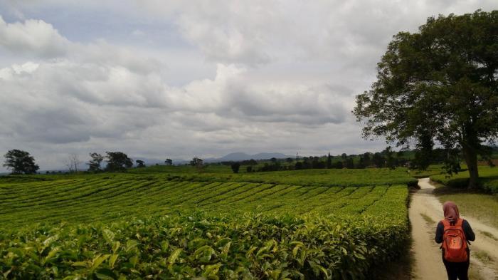 Kebun Teh Bah Butong di Simalungun, Sumatera Utara
