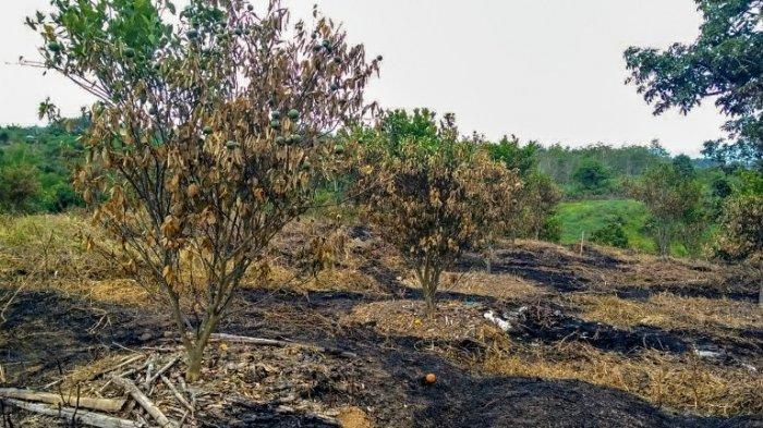 Ladang Jeruk Setengah Hektare Hangus Terbakar, Pemilik Menduga Ada Unsur Sengaja dari OTK