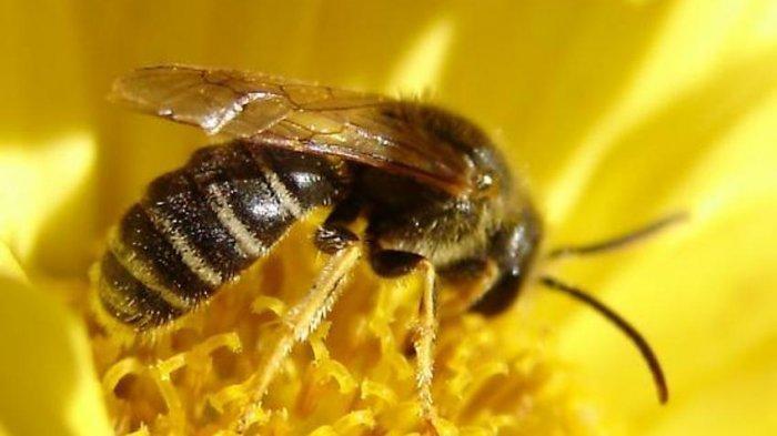 Materi Belajar Siswa: Perbedaan Spesies Lebah dan Tawon