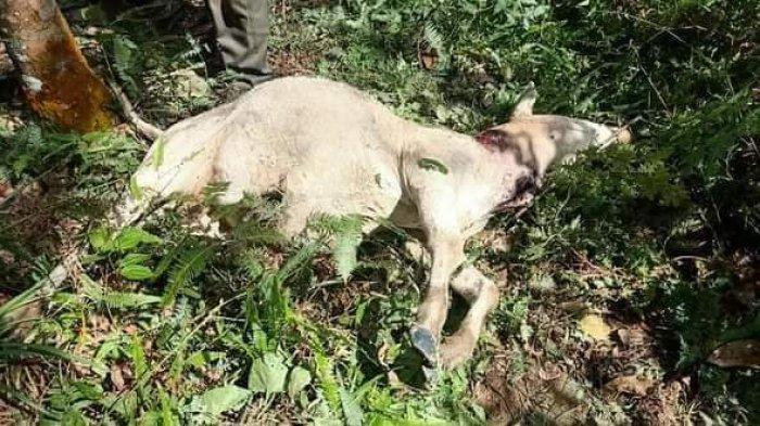 Harimau Sumatera Mengganas, Dua Ekor Lembu Ditemukan Mati dengan Luka Bekas Terkaman