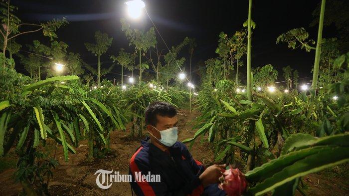 Petani memanfaatkan cahaya lampu pada tanaman buah naga di area pertanian Desa Tiga Pancur, Kecamatan Simpang Empat, Kabupaten Karo, Sumatera Utara, Rabu (24/2/2021).TRIBUN MEDAN/RISKI CAHYADI