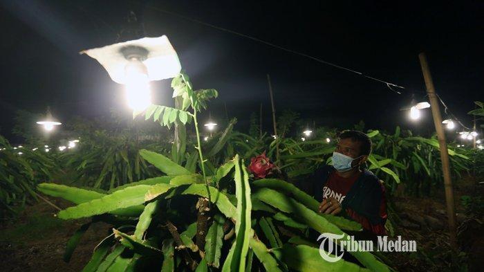 BERITA FOTO Petani Karo Memanfaatkan Cahaya Lampu Untuk Percepat Buah Naga Berbuah