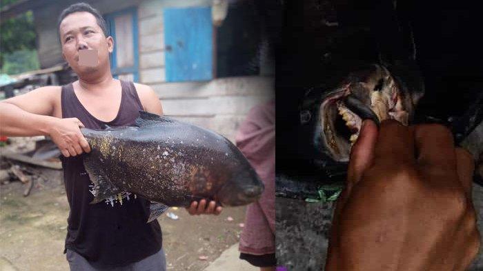 Ikan Predator Berukuran 13 Kg Ditangkap Warga dari Danau Toba