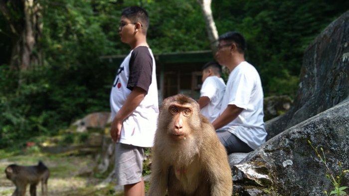 Belasan Kelompok Kera Hibur Pengunjung Wisata Alam Parapat Monkey Forest di Danau Toba