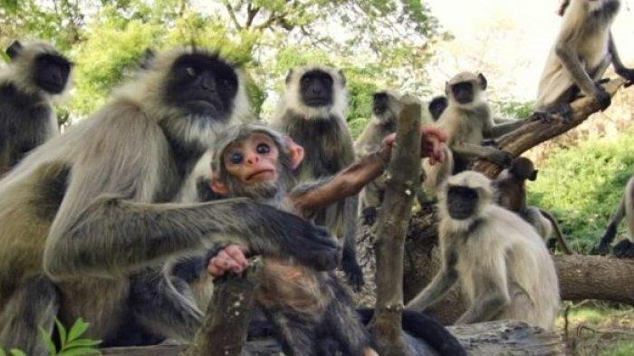 Dampak Virus Corona, Kunjungan Turis Sepi hingga Monyet dan Rusa Cari Makan di Jalan