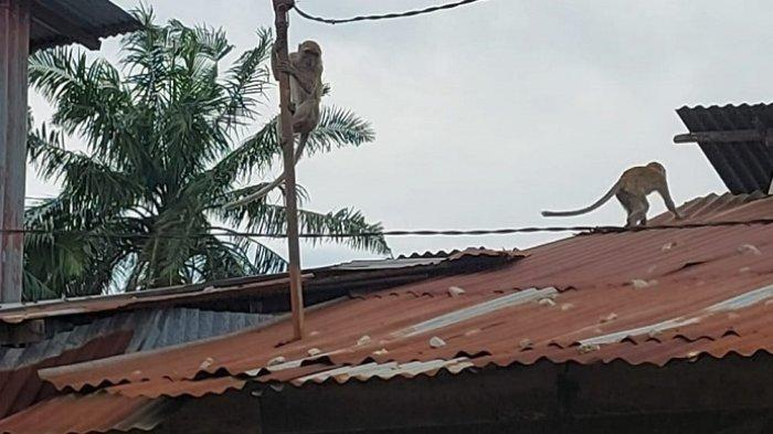 Rombongan Monyet Kerap Masuk Pemukiman di Bandar Utama, Kerap Mencuri dan Rusak Atap