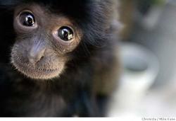 Boy, Monyet Primadona di Kebun Binatang Medan