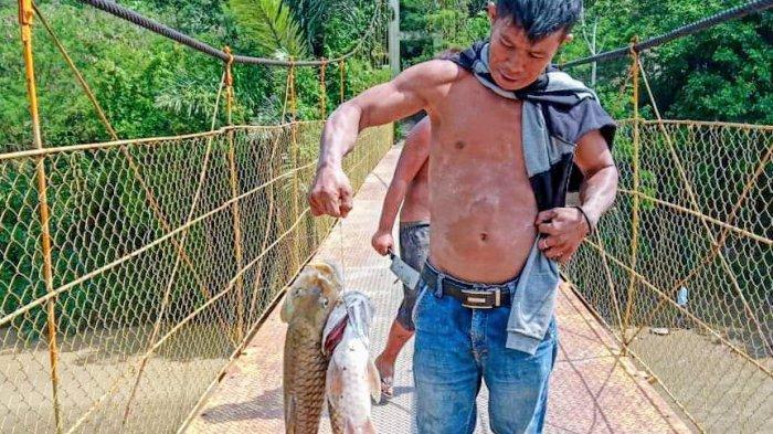Muncul Fenomena Puluhan Ikan Jurung (Ihan Batak) Mati, Dinas Pertanian Dairi Beber Penyebabnya