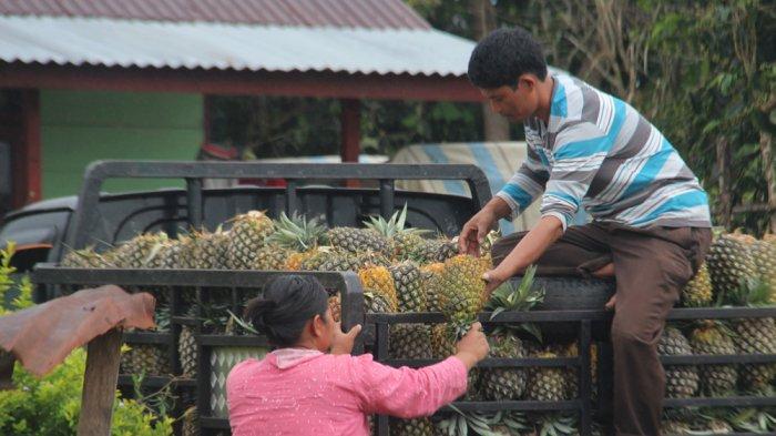 Nenas Jadi Buah Khas di Desa Sipahutar, Ukurannya Jauh Lebih Besar