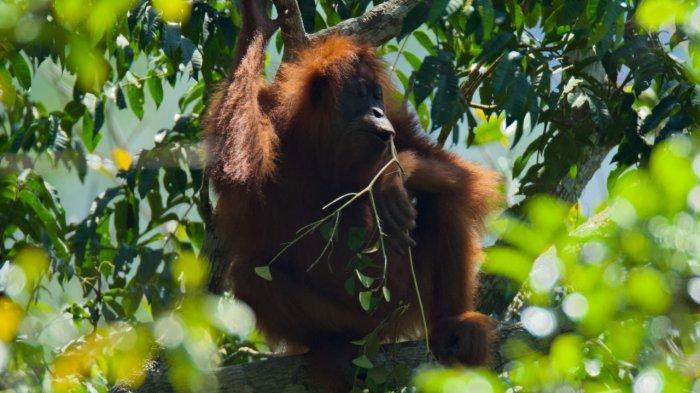 Pro Kontra Penanganan Orangutan di APL Hal Wajar