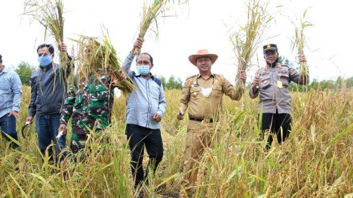 Panen Perdana Padi Gogo di Taput, Bupati Nikson Nababan: Petani Adalah Ujung Tombak Ketahanan Pangan