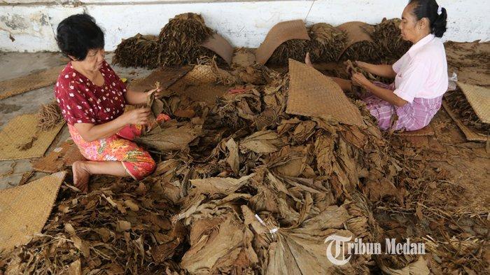 Pekerja melakukan proses penyaringan daun tembakau Deli, di PT Perkebunan Nusantara 2 (PTPN2) Bulu Cina, Kabupaten Deliserdang, Sumatera Utara, Senin (20/02/2020).TRIBUN MEDAN/RISKI CAHYADI