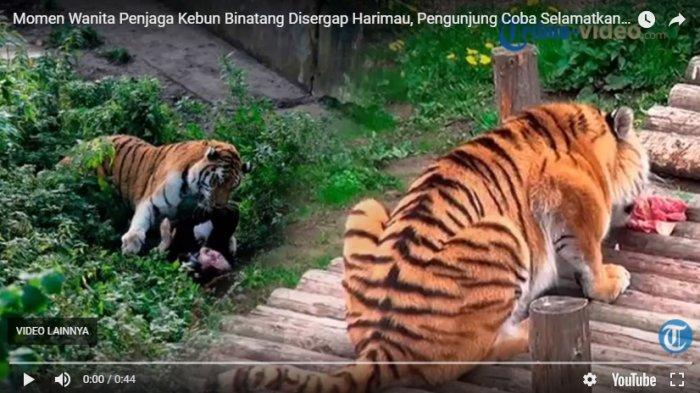 Mengenaskan, Seorang Perempuan Disergap Harimau, Masyarakat Berusaha Menyelamatkan dengan Cara Ini