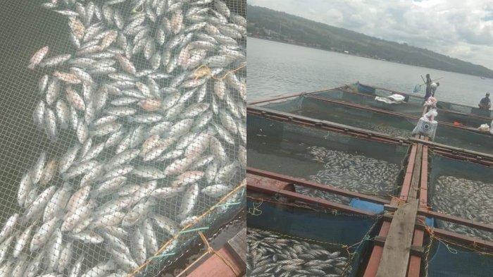 Pjs Bupati Samosir Bentuk Tim Kaji Kematian Ratusan Ton Ikan Secara Mendadak