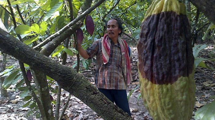 Dinas Perkebunan Sumut Belum Pastikan Dapat Dana Pengembangan Kakao