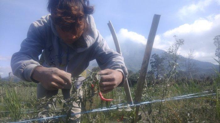 Dampak Erupsi, Lahan Pertanian Rusak Terpapar Abu, Petani : Sudah Enggak Ada Yang Mau Beli
