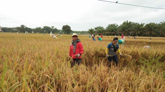 Petani Keluhkan Anjloknya Harga Gabah, Dinas Tanaman Pangan Sumut: Masih Stabil di Atas Rp 4.200