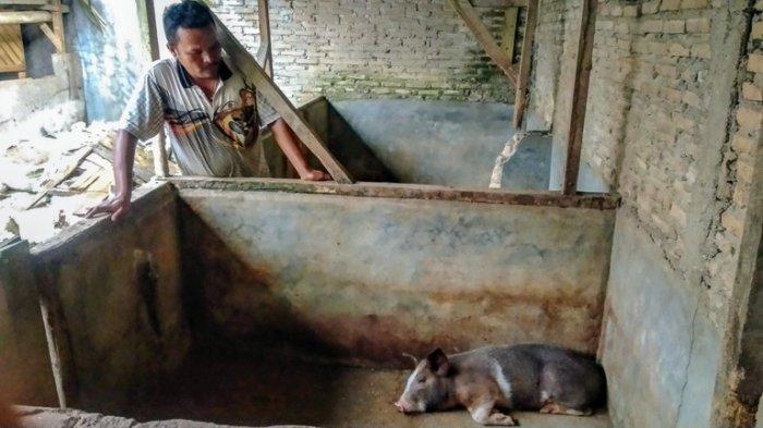Ternak Babi Mati karena Virus di Dairi Sudah Tembus 12 Ribu