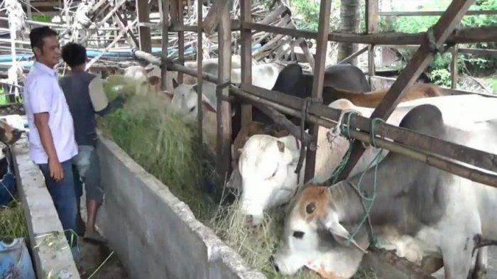 JELANG Hari Raya Idul Adha Penjualan Hewan Kurban di Kota Binjai Menurun lantaran Pandemi Covid-19