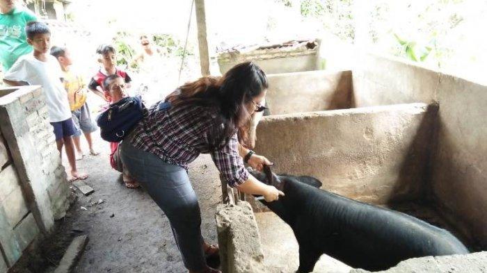 Pemkab Tapanuli Utara Masih Perang dengan Virus Babi