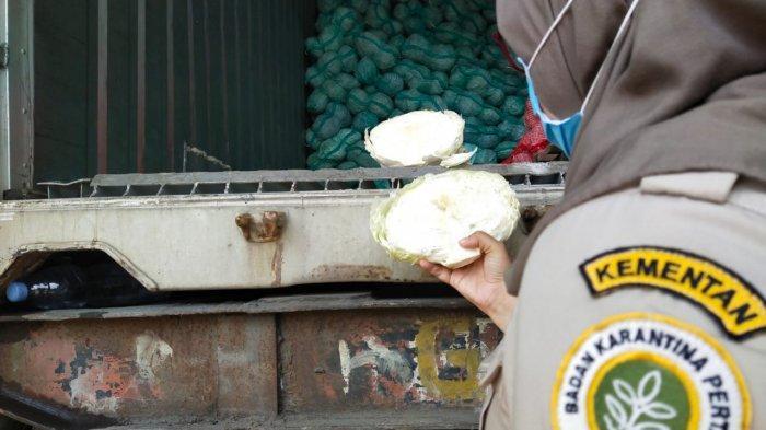 Ekspor Sayur Kol Sumut Melonjak, Ribuan Ton Diminati Taiwan, Capai Nilai Ekonomis Rp 4,5 Miliar