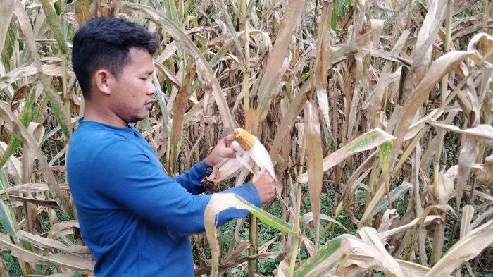 Petani Jagung di Sumut Berharap Terus Didukung Kementan