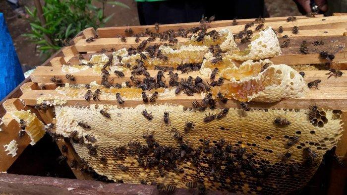 Materi Belajar Sekolah: Proses Lebah Membuat Madu dan Jenisnya