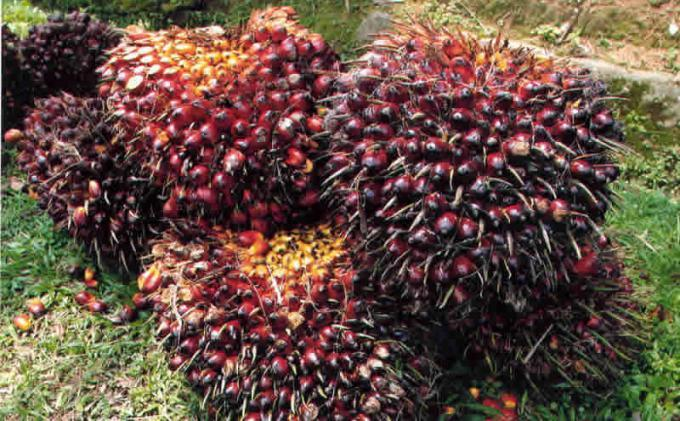 Nilai Tukar Petani di Sumut Turun, Paling Banyak Disumbang Komoditas Kelapa Sawit