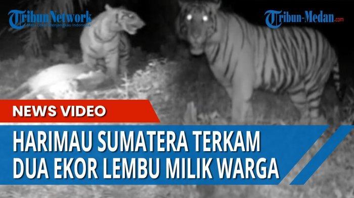 Harimau Makin Sering Mangsa Ternak Warga Bahorok, Kini Seekor Lembu Ditemukan Mati