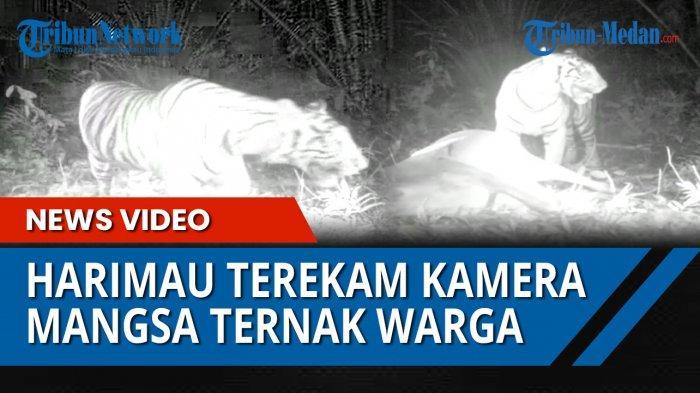 LAGI, Harimau Sumatera Memangsa Ternak Warga Langkat, Sudah 12 Kali Dalam 4 Bulan Terakhir