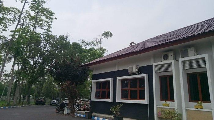 HEBOH, Seekor Monyet Berkeliaran di Kantor Bupati Deliserdang