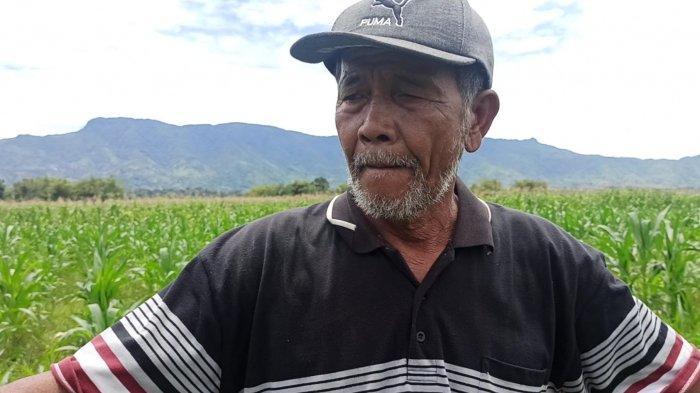 Petani Jagung di Toba Terancam Gagal Panen, Singgung Bantuan Pupuk yang Dijanjikan Bupati