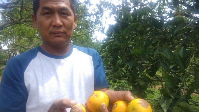 Dinas Pertanian Karo Catat Adanya Penurunan Luas Tanaman Jeruk, Berikut Penyebabnya