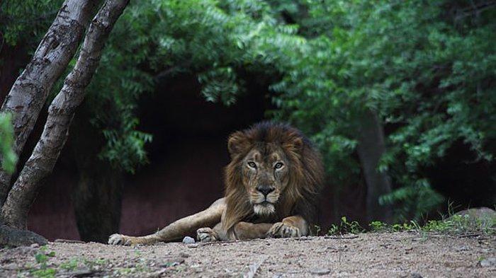 Delapan ekor singa di kebun binatang India positif Covid-19.