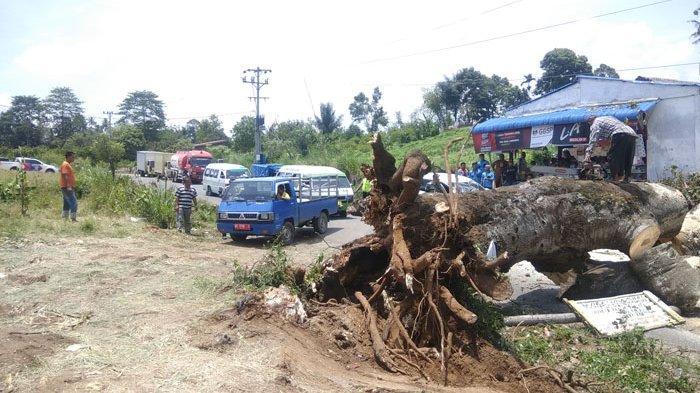 Pohon Tumbang Timpa Mobil di Jalan Lintas Provinsi, Akses Menuju Kota Cane Sempat Tersendat