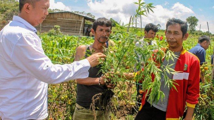 Petani Tomat Menyambi Tanam Ganja Dicokok Polisi, 90 Batang Untuk Dipakai Sendiri dan Bagi-bagi